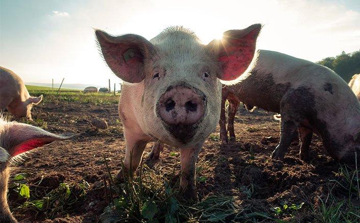 Healthy, (relatively) happy free-range meat
