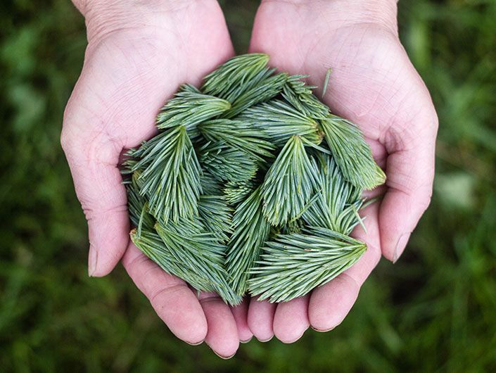 Spruce tips used to flavour gruit beer as a replacement for hops