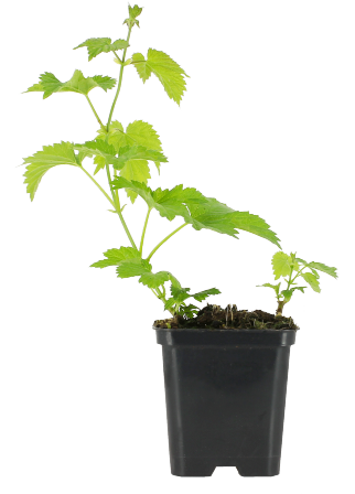 Pied de houblon vert Magnum à replanter
