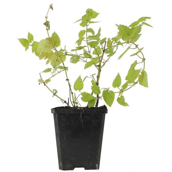 pied de plante de houblon dor vendu en godet pour replanter. Black Bedroom Furniture Sets. Home Design Ideas